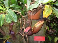 pitcher plant malaysia